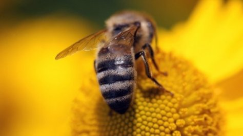 Honeybees and other pollinating insects have been in decline for decades.  Image: BBC News.