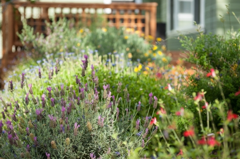 The Garden Grows- Lavender, Salvias, Thyme.  (David Newsom Photography, all rights reserved)