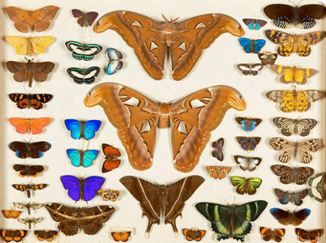 Lepidoptera- from the study of Alfred Russel Wallace