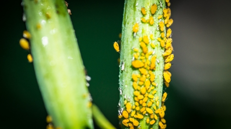 Mexican Aphids storm the Milkweed (David Newsom Photography, all rights reserved)