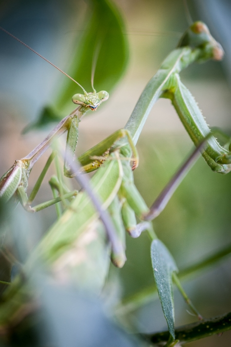 Mating Carolina Mantises on the Orange Jessamine. David Newsom Photography, all rights reserved.