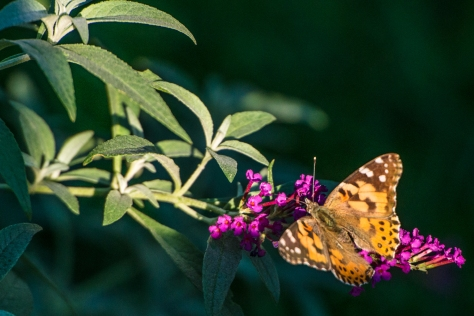 A Painted Lady Butterfly, doing her thing on a Dwarf Buddleia Magenta bush.